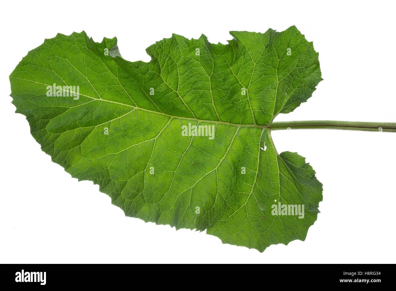 Klettenblatt, Filzige Klette, Filzklette, Wollkopf-Klette, Arctium tomentosum, woolly burdock, downy burdock, Hairy - Stock Image