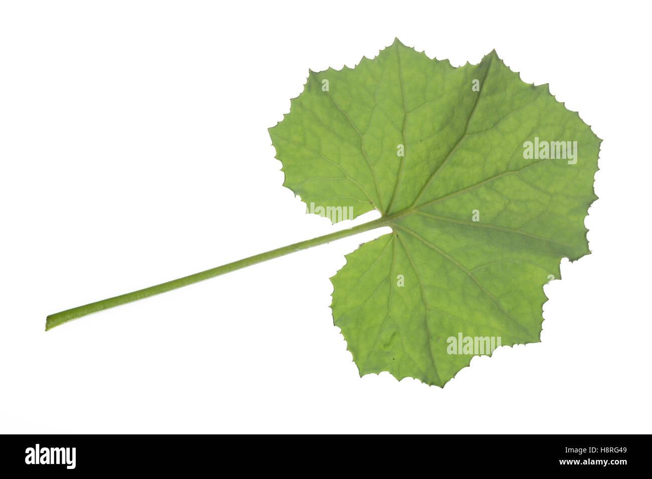 Huflattich-Blatt, Huflattich, Tussilago farfara, Coltsfoot, Pas d´âne, Tussilage. Blatt, Blätter, - Stock Image