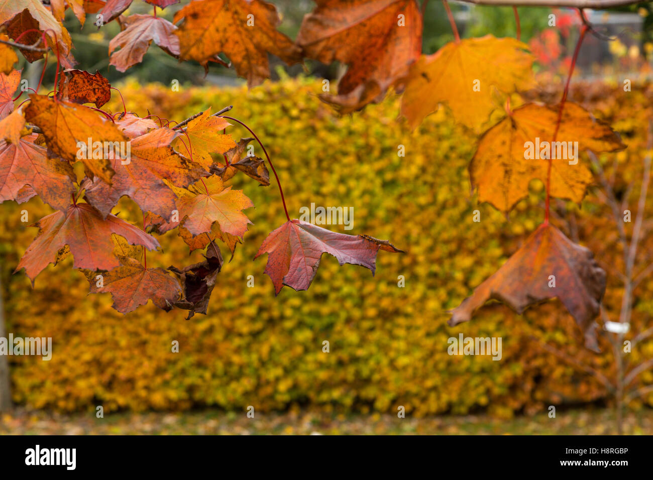 Fading leaves on Acer platanoides Crimson King, purple throughout the summer, turn softer shades in autumn, & - Stock Image