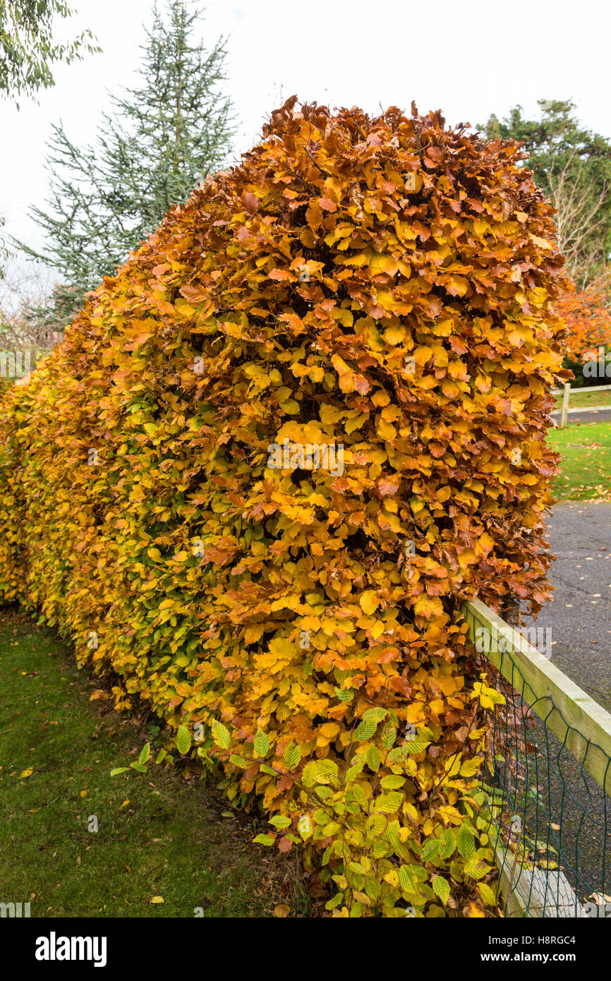 a beech hedge fagus sylvatica in full autumn colour. Black Bedroom Furniture Sets. Home Design Ideas