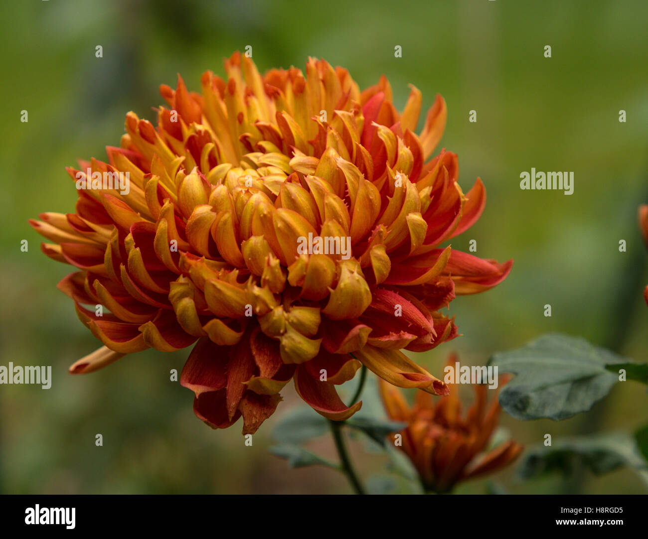 Chrysanthemum Lilian Shoesmith, a 'late intermediate' mop head variety, flowering in autumn and winter in - Stock Image