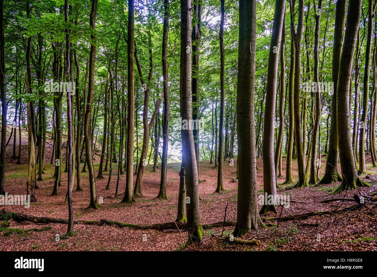 Primeval Beech Forest at Jasmund National Park on the island of Rügen, Mecklenburg-Vorpommern, Germany - Stock Image