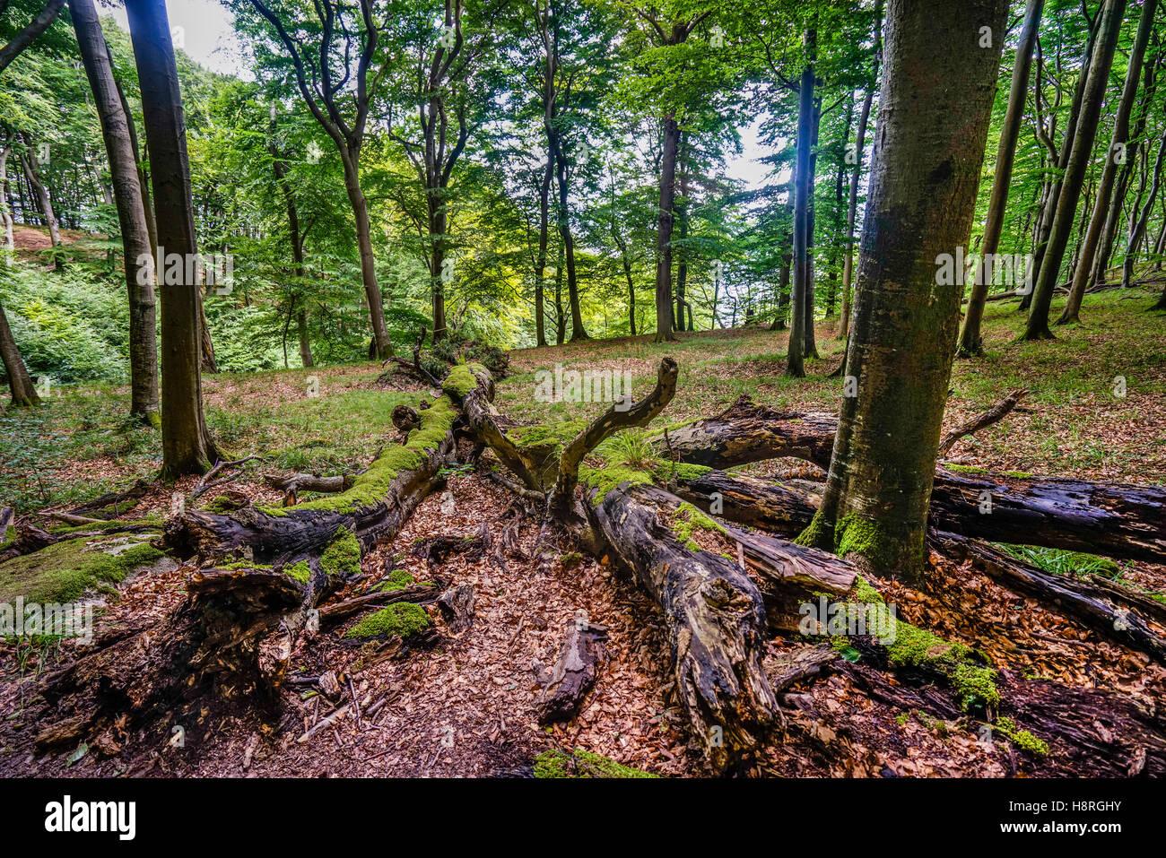 Primeval Beech Forest at Jasmund National Park on the island of Rügen, Mecklenburg-Vorpommern, Germany - Stock Image