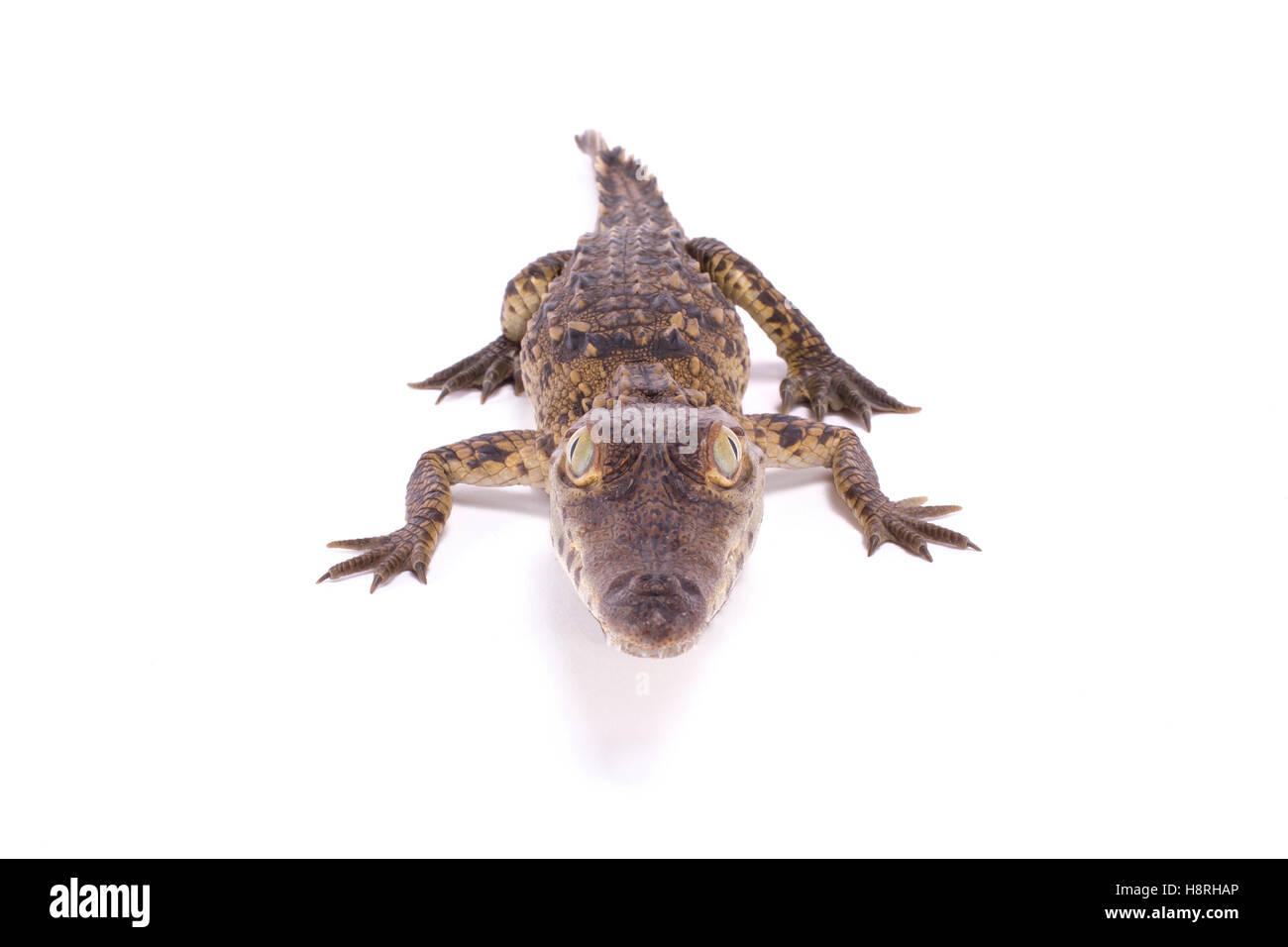 American crocodile ,Crocodylus acutus - Stock Image
