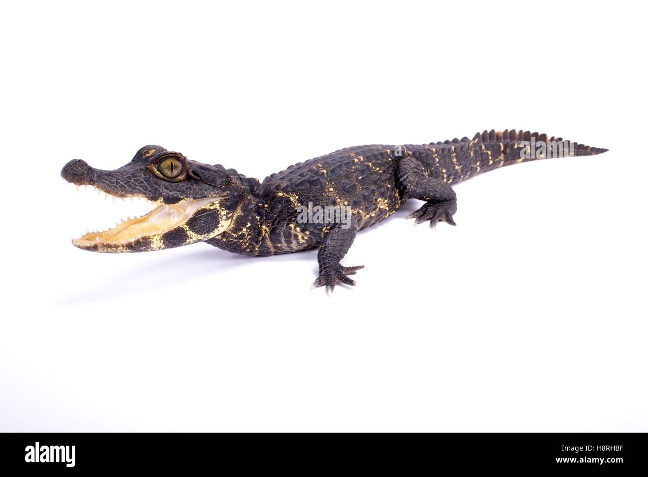 Dwarf crocodile,Osteolaemus tetraspis - Stock Image