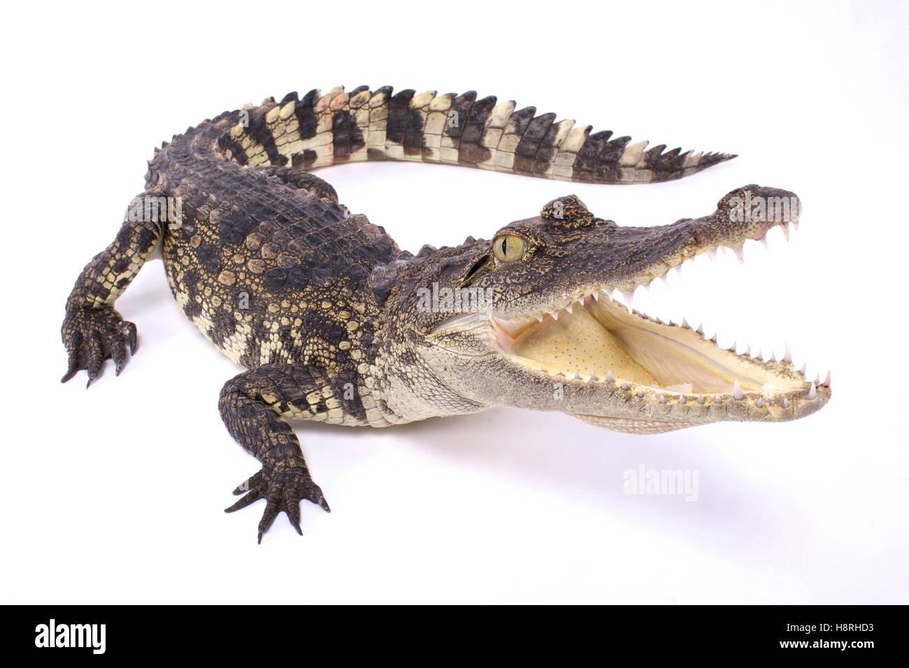 Siamese crocodile,Crocodylus siamensis - Stock Image