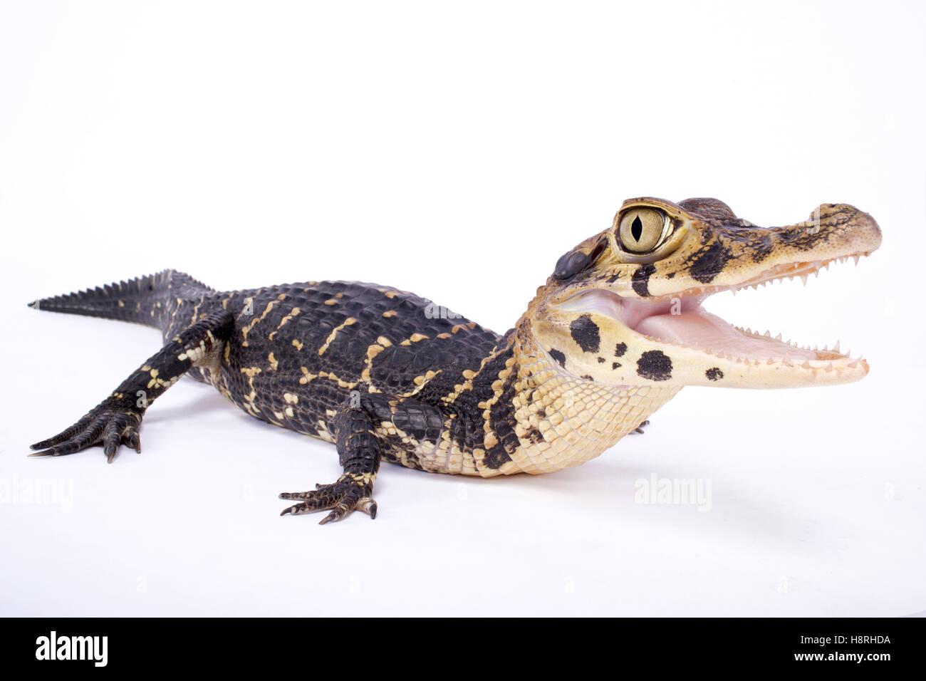 Black caiman,Melanosuchus niger - Stock Image