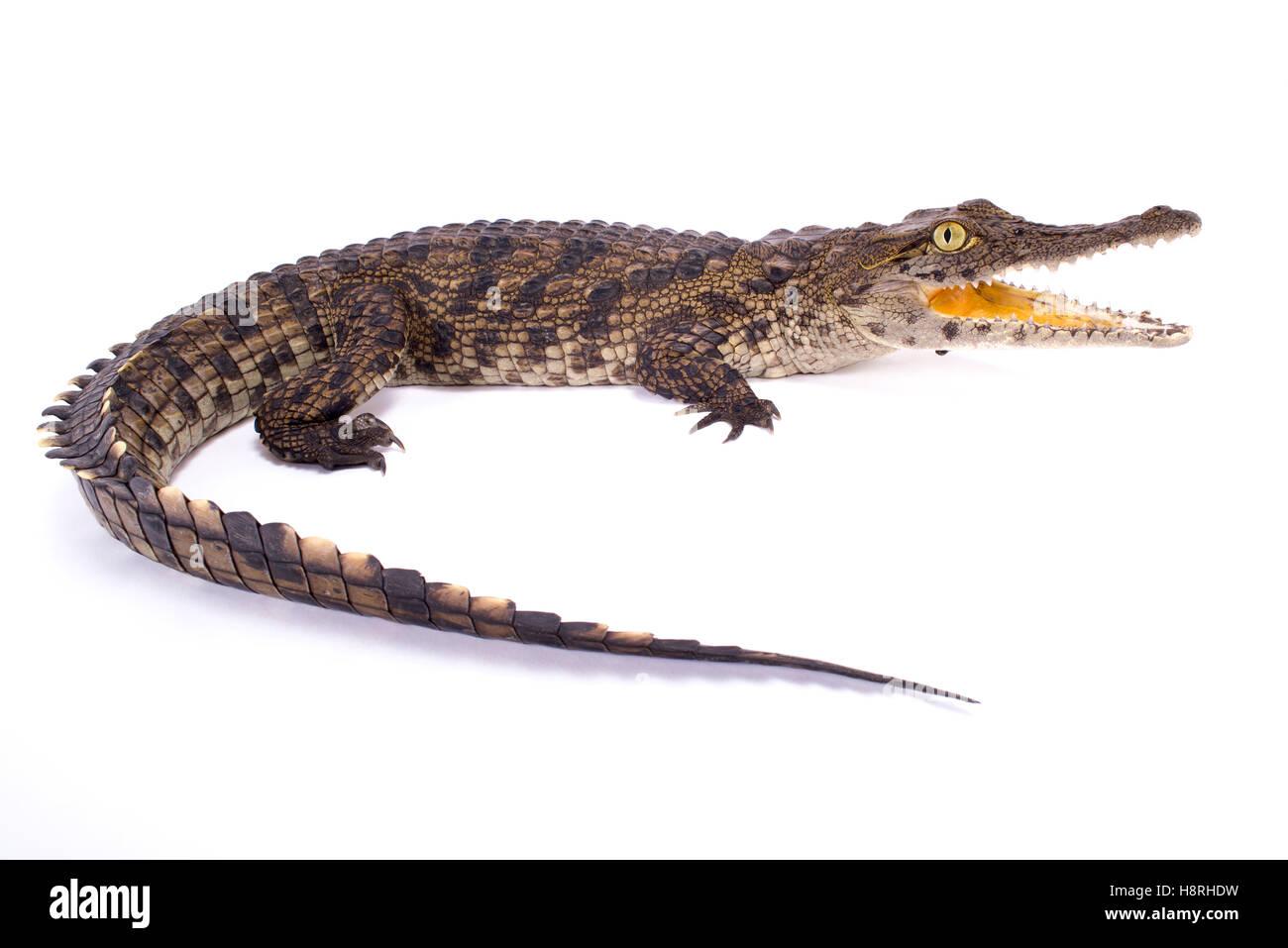 Nile crocodile,Crocodylus niloticus - Stock Image