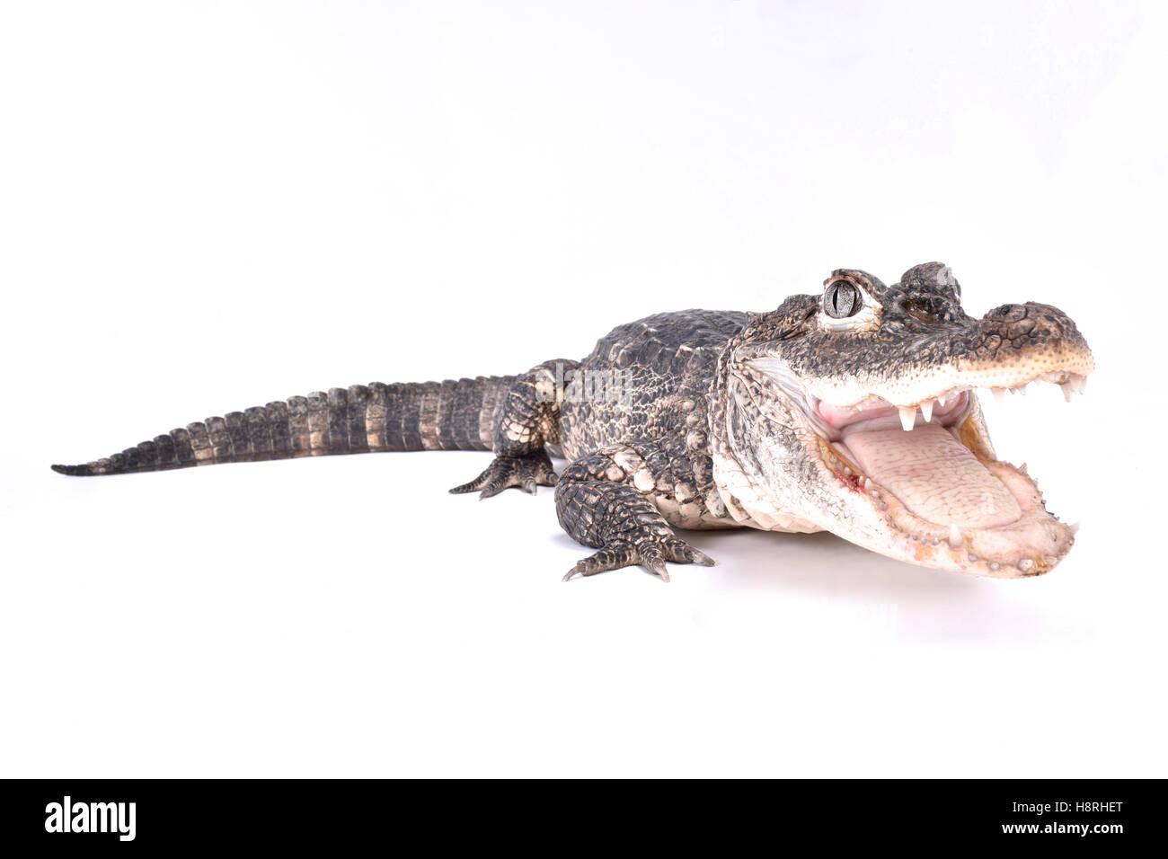 Chinese alligator, Alligator sinensis - Stock Image