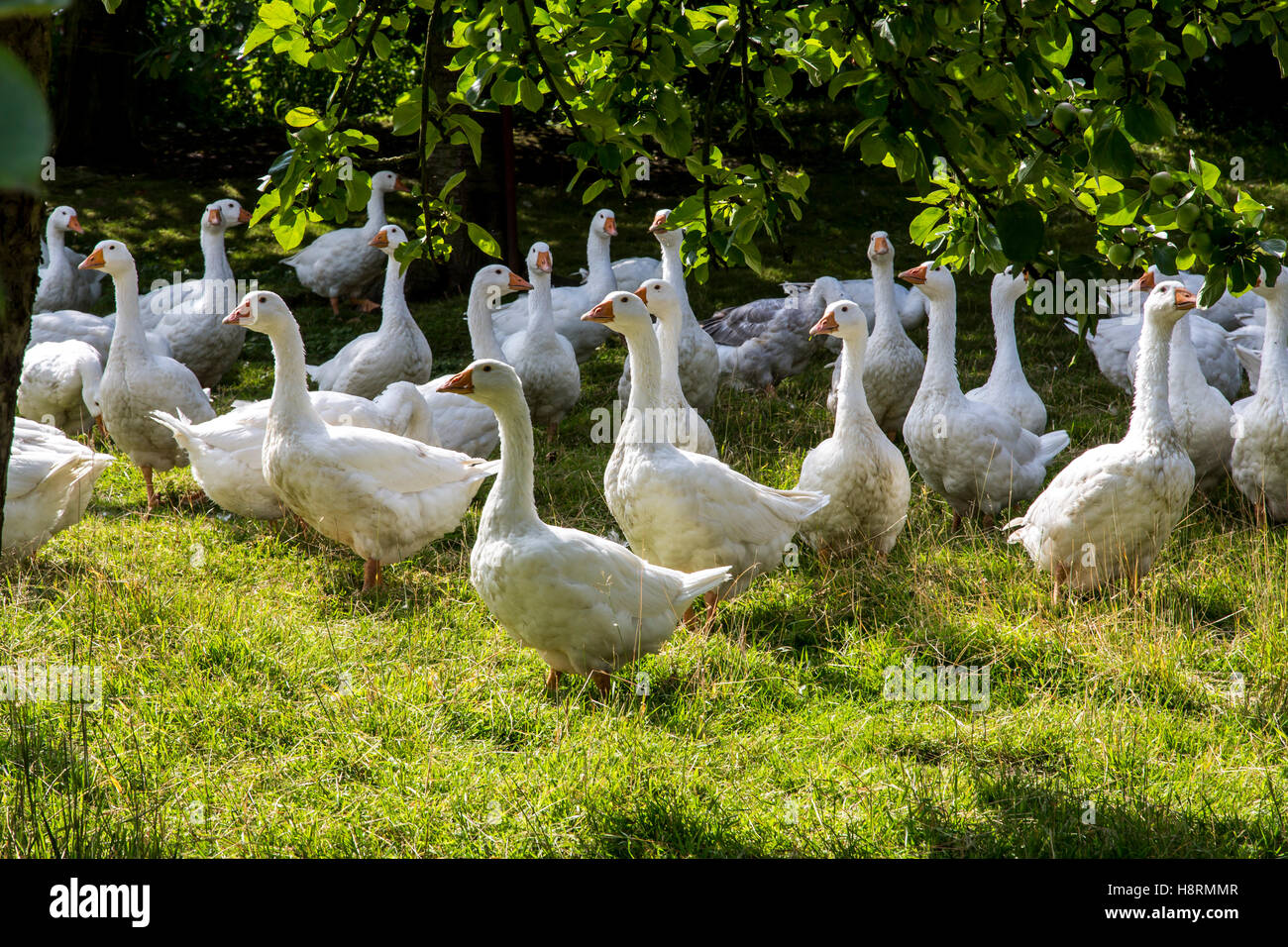 Geese, in a meadow, outdoor life on a farm, open range, free-range, Stock Photo