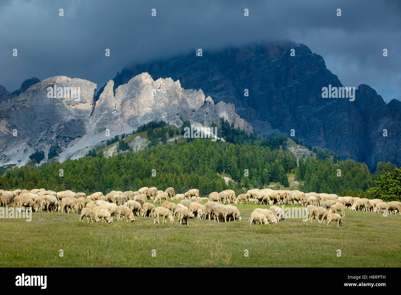 Sheep grazing on a hillside below peaks of the Dolomite Mountains near Cortina d'Ampezzo, Veneto, Italy - Stock Image
