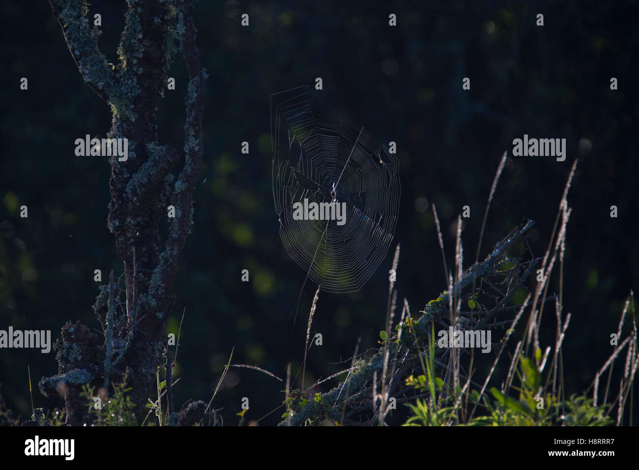 spiders web with grasses in early morning light, Laikipia Kenya Africa - Stock Image