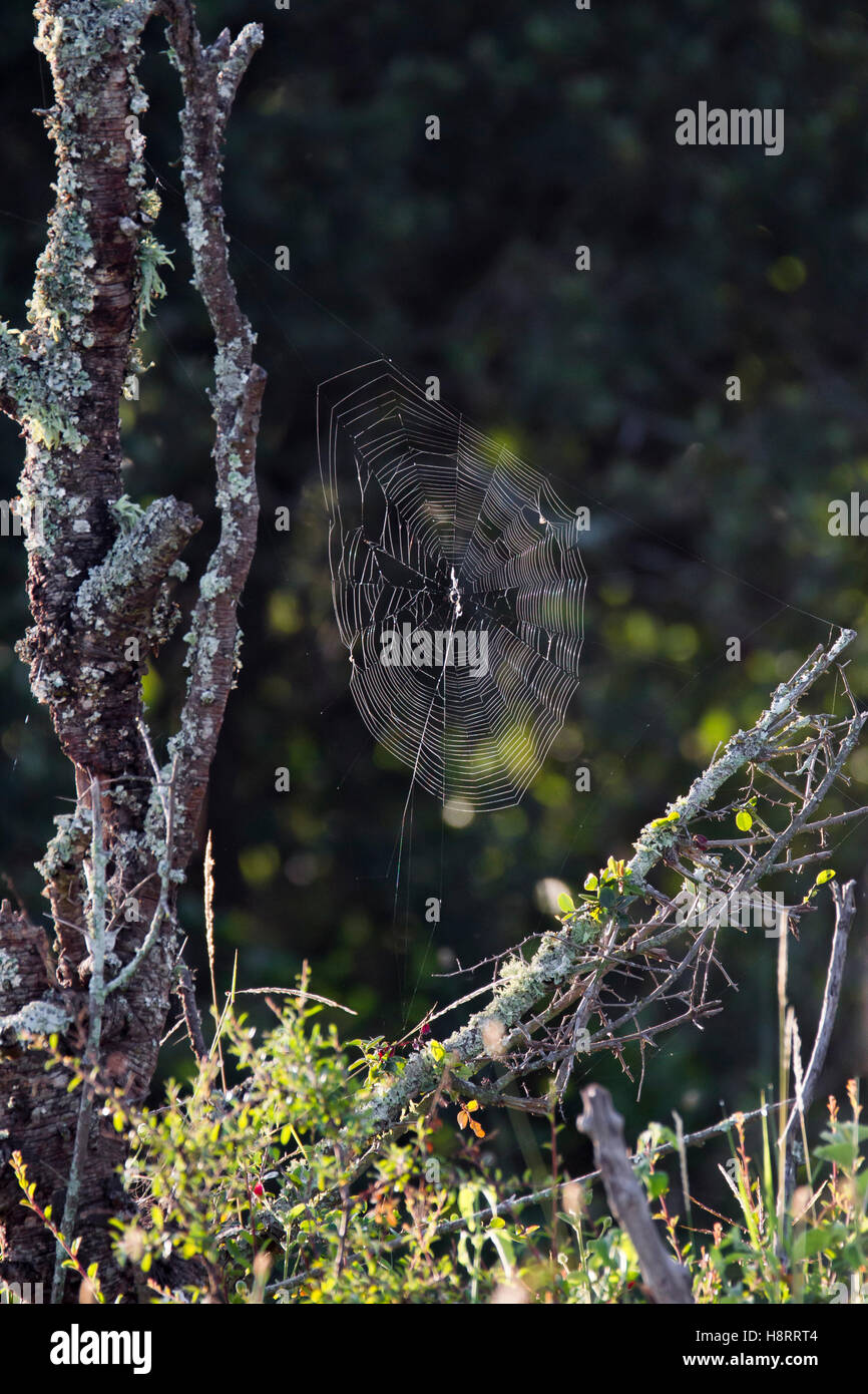 spiders web in early morning light, Laikipia Kenya Africa - Stock Image