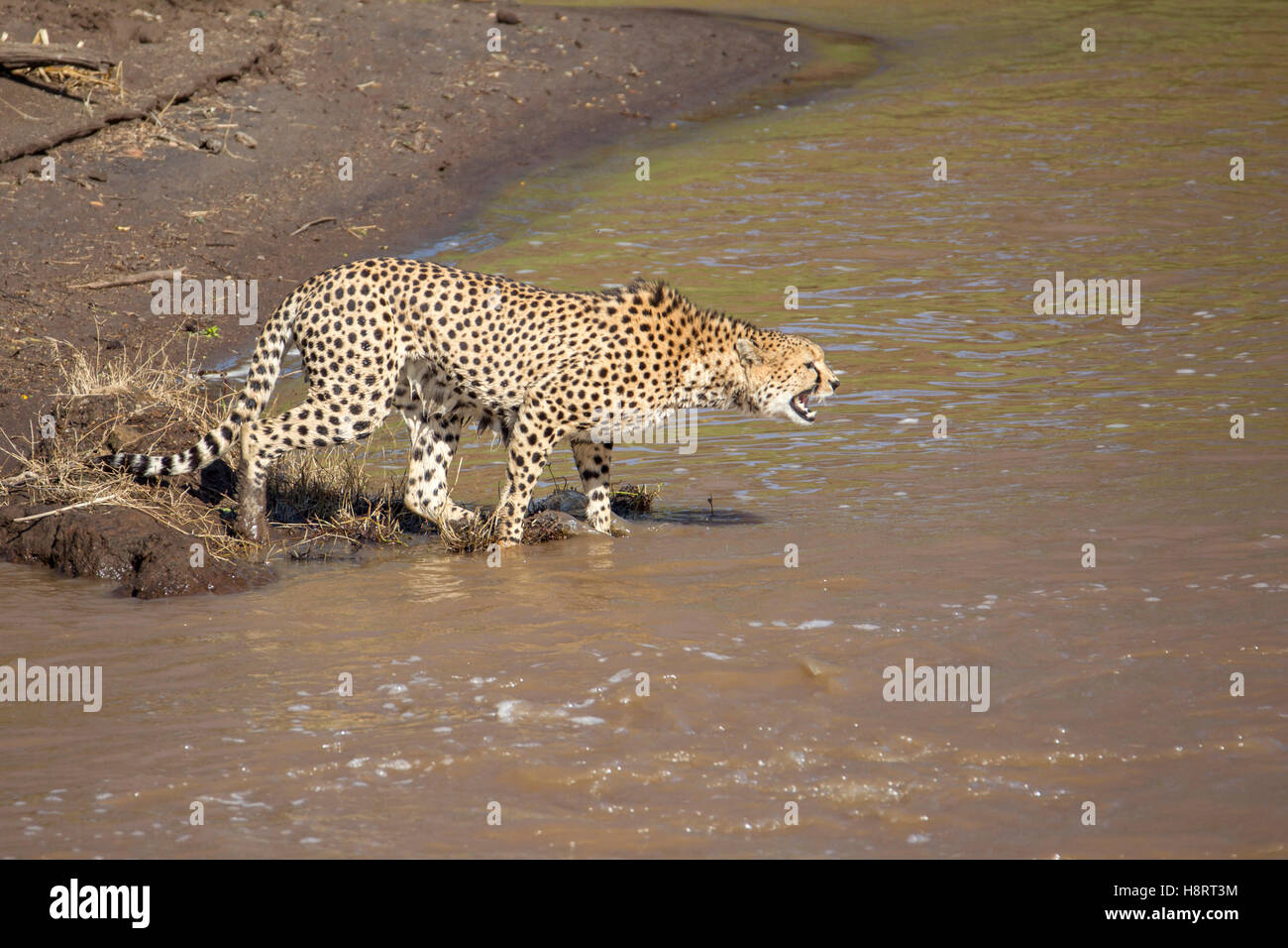 Cheetah Acinonyx jubatus in Laikipia Kenya Africa, snarling and about to jump into the river - Stock Image