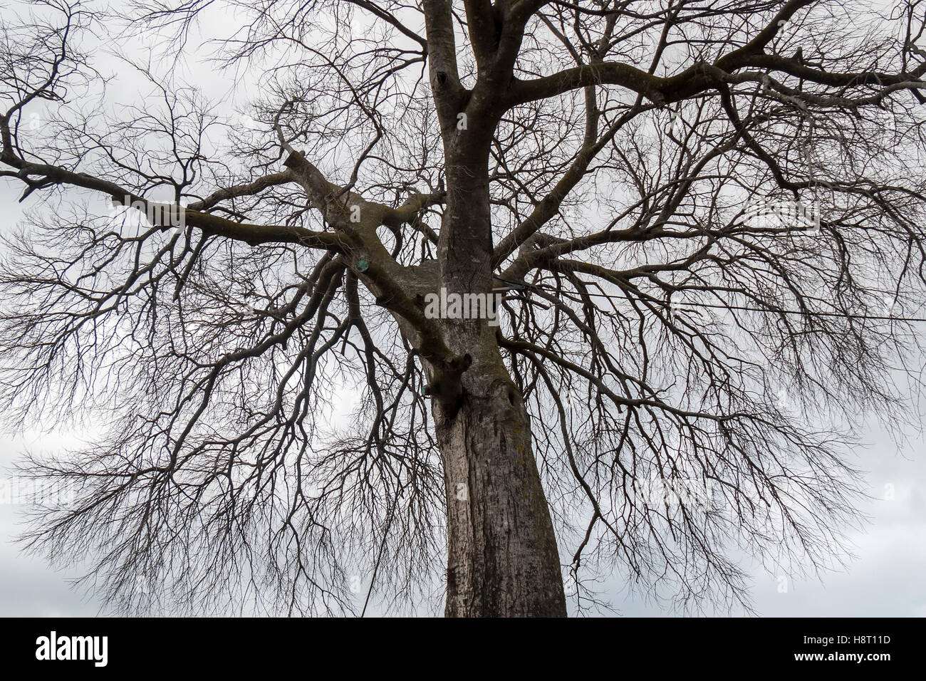 Treetop branches of a leafless tree in winter - Stock Image
