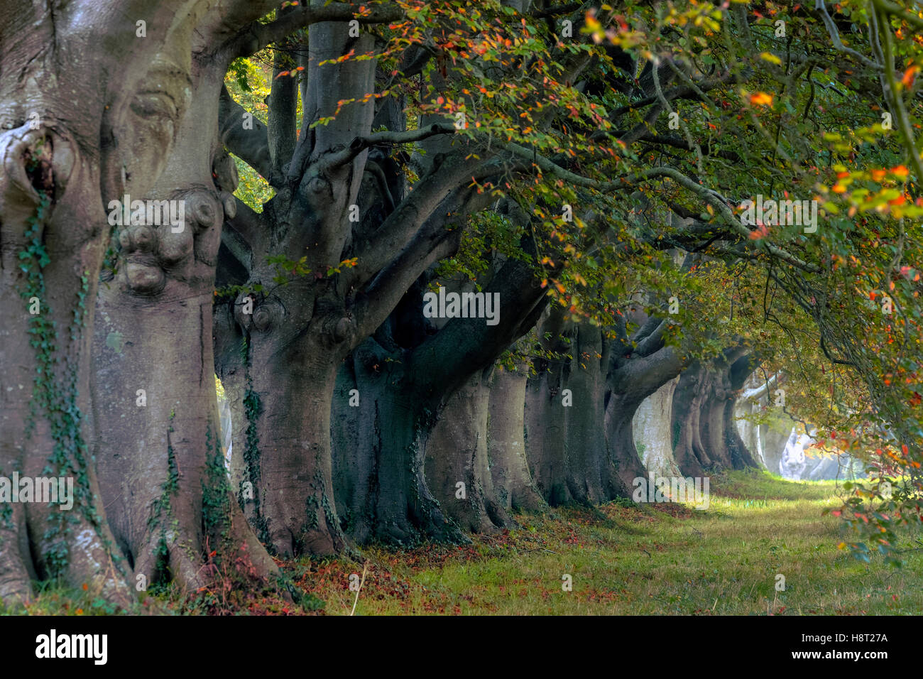 Beech Avenue; Kingston Lacy; Dorset; England - Stock Image