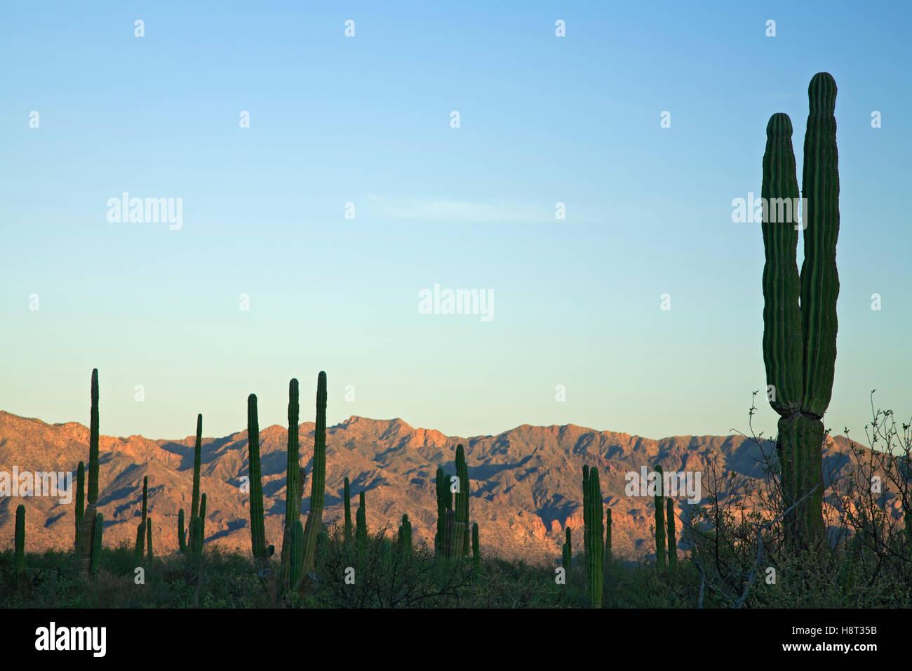 Silhouette of cardon (Pachycereus) trees and mountains, near Mulege, Baja California Sur, Mexico - Stock Image