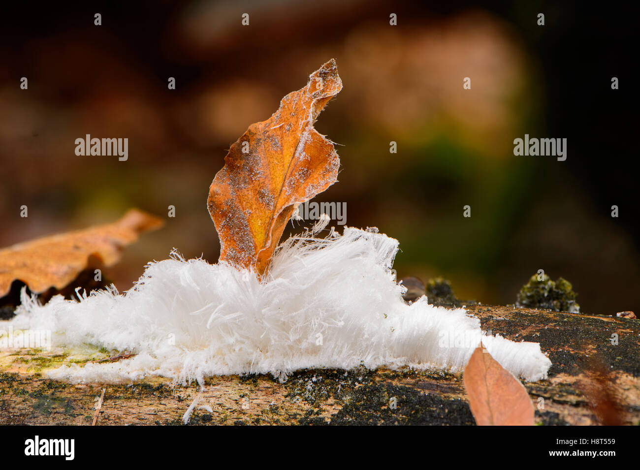 Hair ice is frozen water which is pushed out of dead beech wood by fungi. It only appears when it is freezing 1 - Stock Image