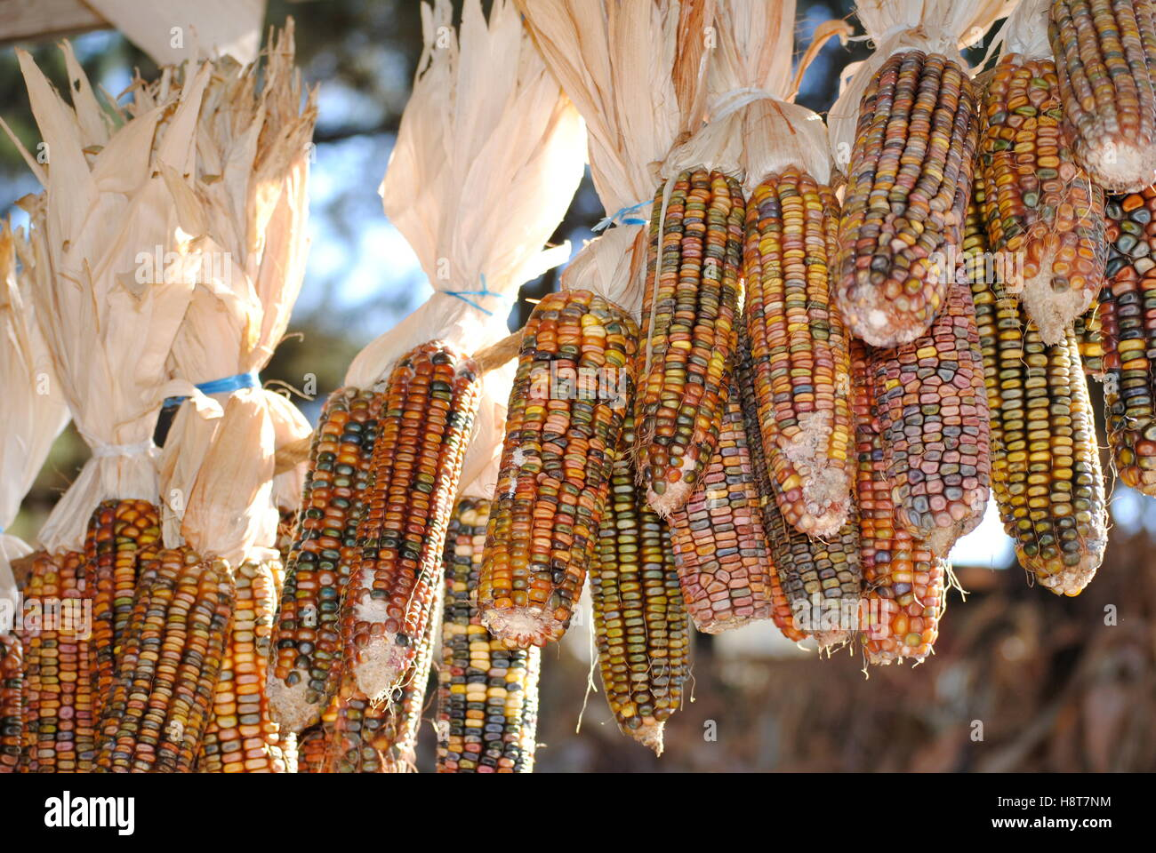 Multi-Colored Corn on the Cob Hanging from a Rope. - Stock Image