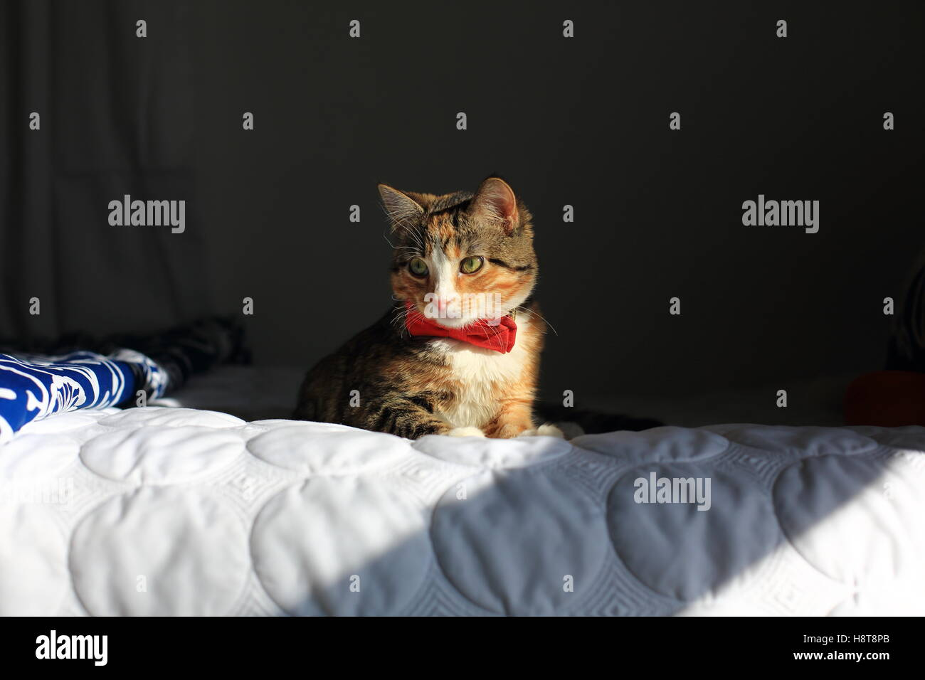 A orange, black and white speckled housecat wearing a bowtie rests on a bed in dramatic light. - Stock Image