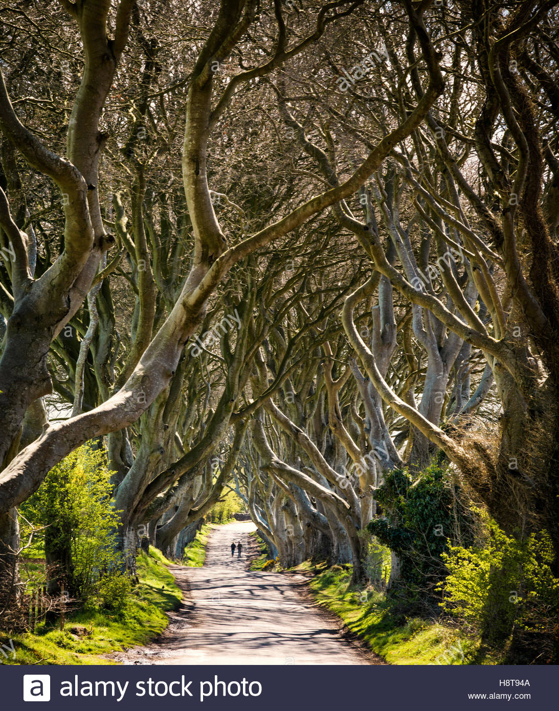 Game of Thrones Location of the Dark Hedges in Northern Ireland. - Stock Image