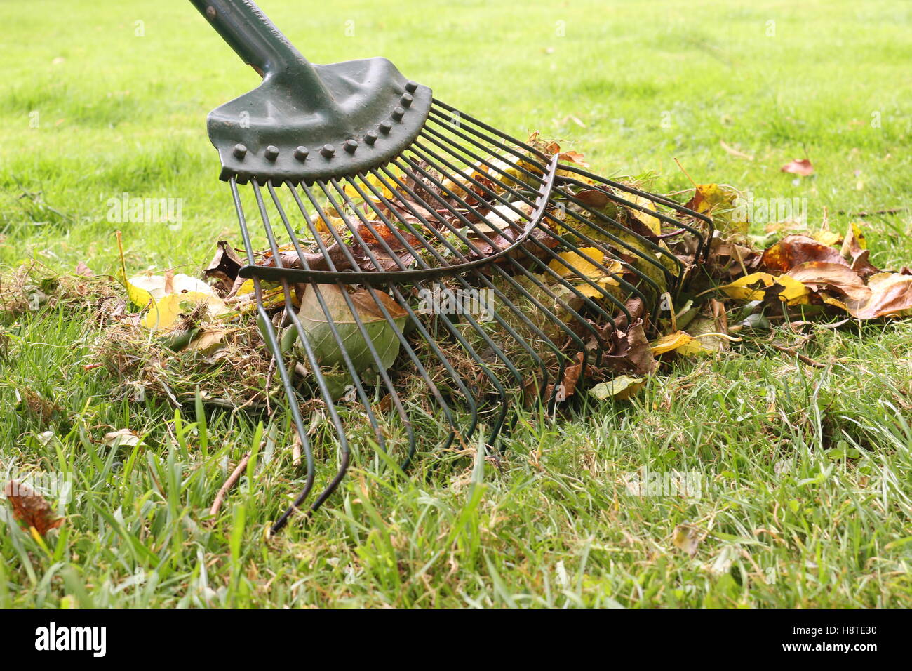 raking leaves - Stock Image