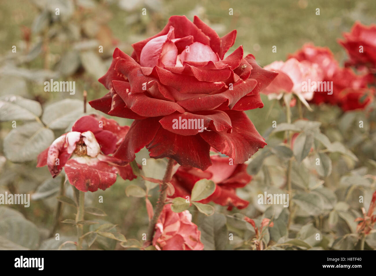 Red-creamy rose dying in autumn garden. Wilted rose. Sad fall mood ...