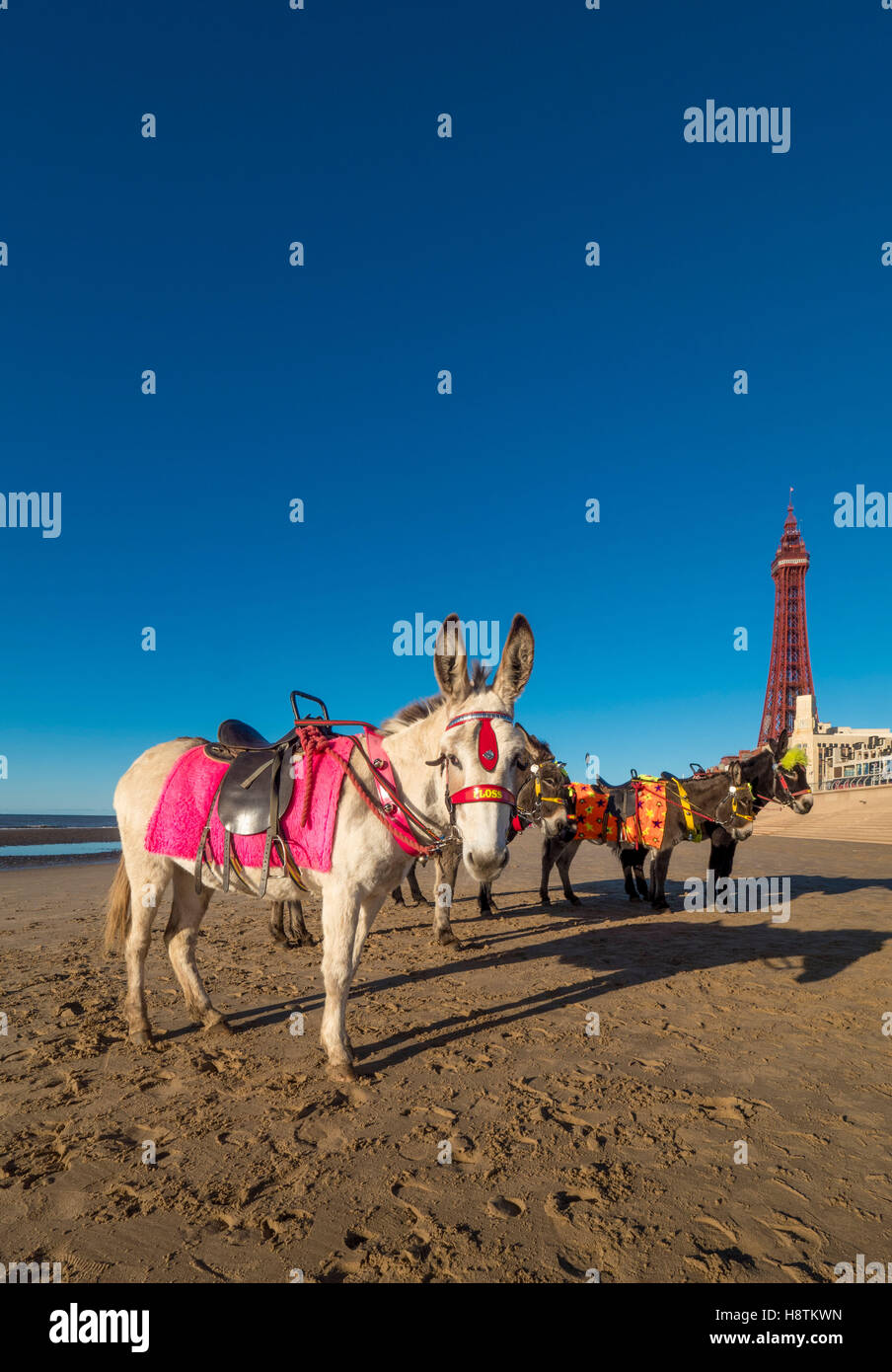 Donkeys on beach with Blackpool Tower in distance, Blackpool, Lancashire, UK. - Stock Image