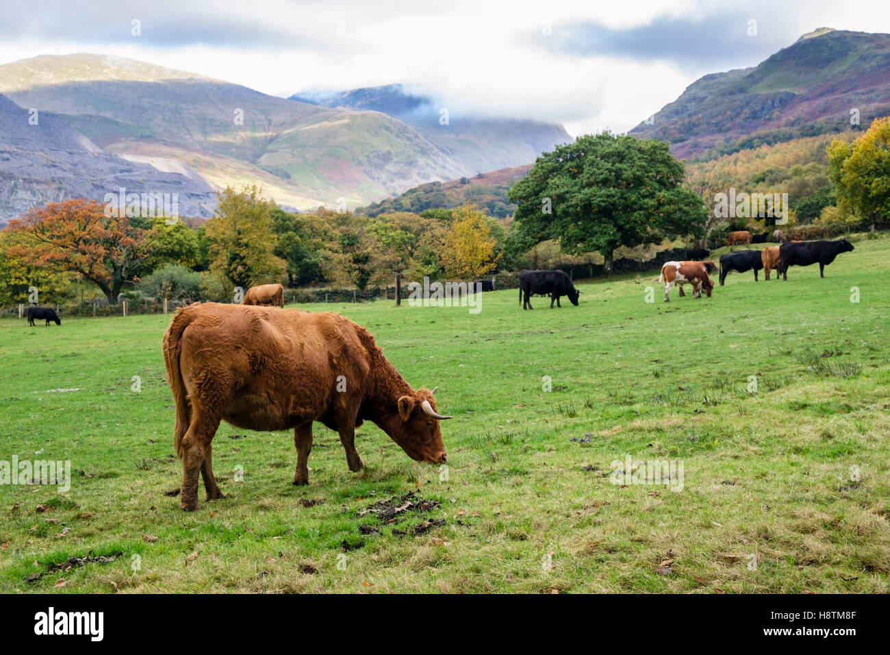 Country scene with cattle grazing in a countryside field amongst mountains of Snowdonia in autumn. Llanberis, Gwynedd, - Stock Image
