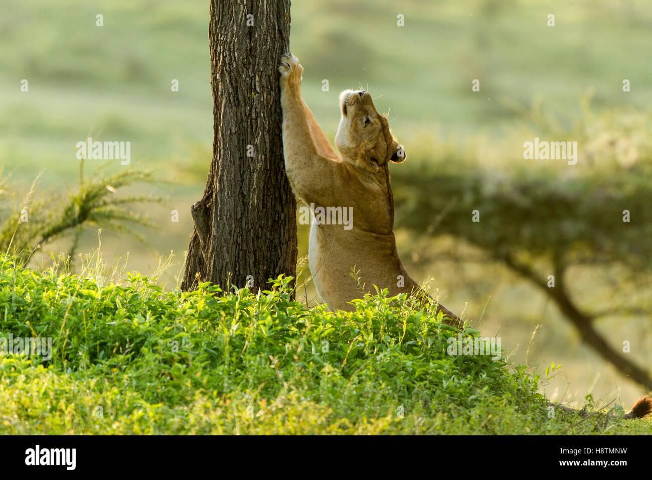 Tanzanie, Ngorongoro national park, Lion (Panthera leo), female - Stock Image