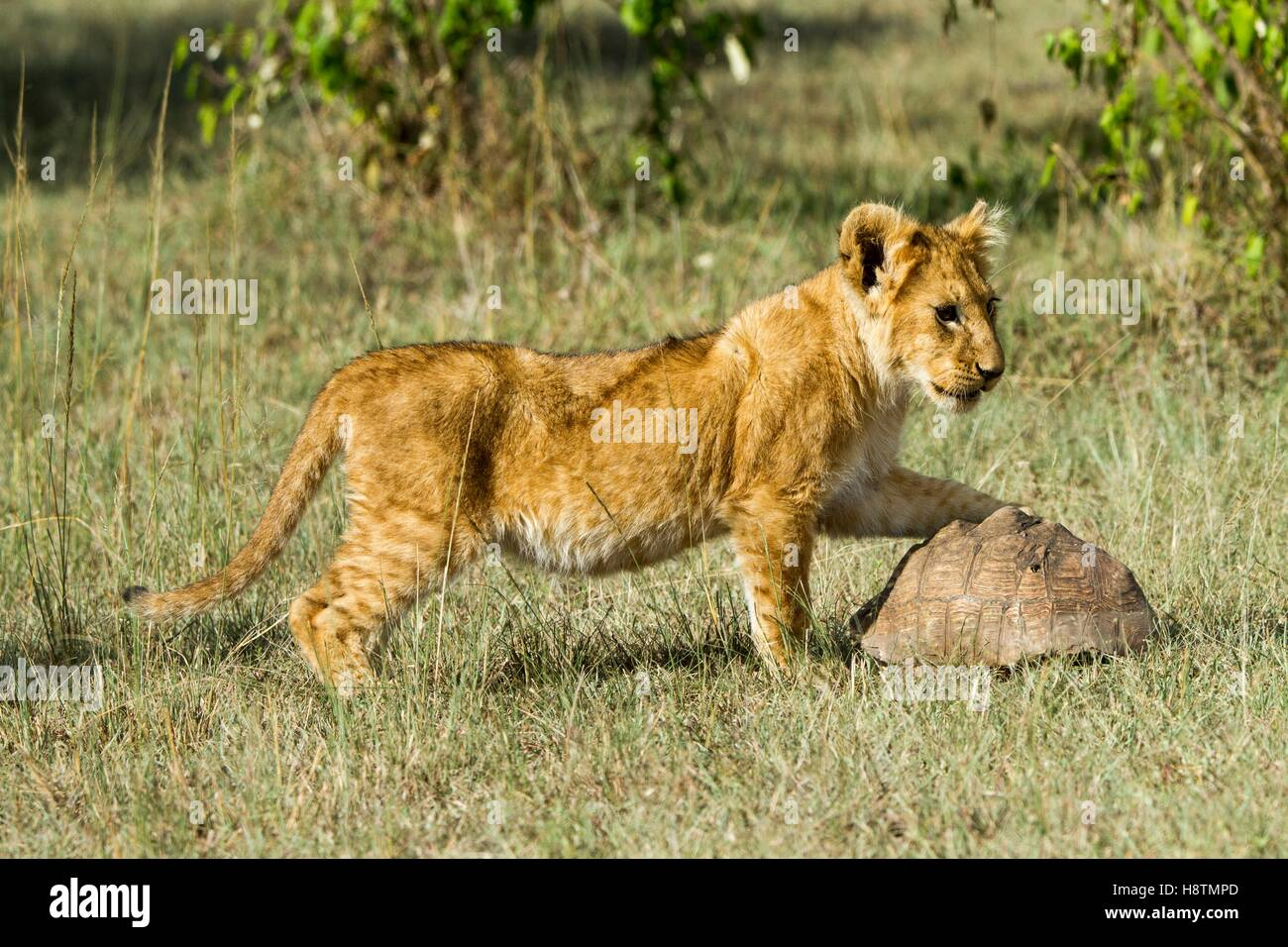 Kenya, Masai-Mara game reserve, Lion (Panthera leo), cub playing with a turtle - Stock Image