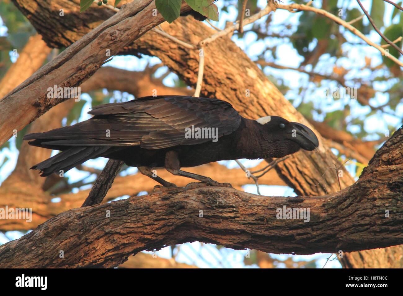 Thick-billed Raven (Corvus crassirostris) on a branch. Ethiopia - Stock Image
