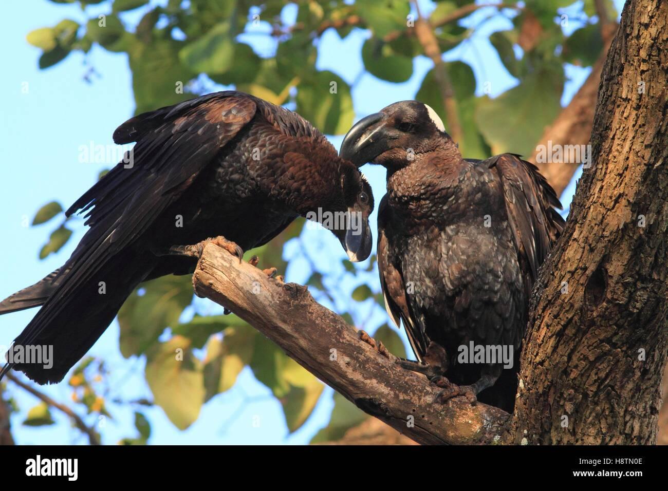 Thick-billed Raven (Corvus crassirostris) courtship behaviour. Ethiopia - Stock Image