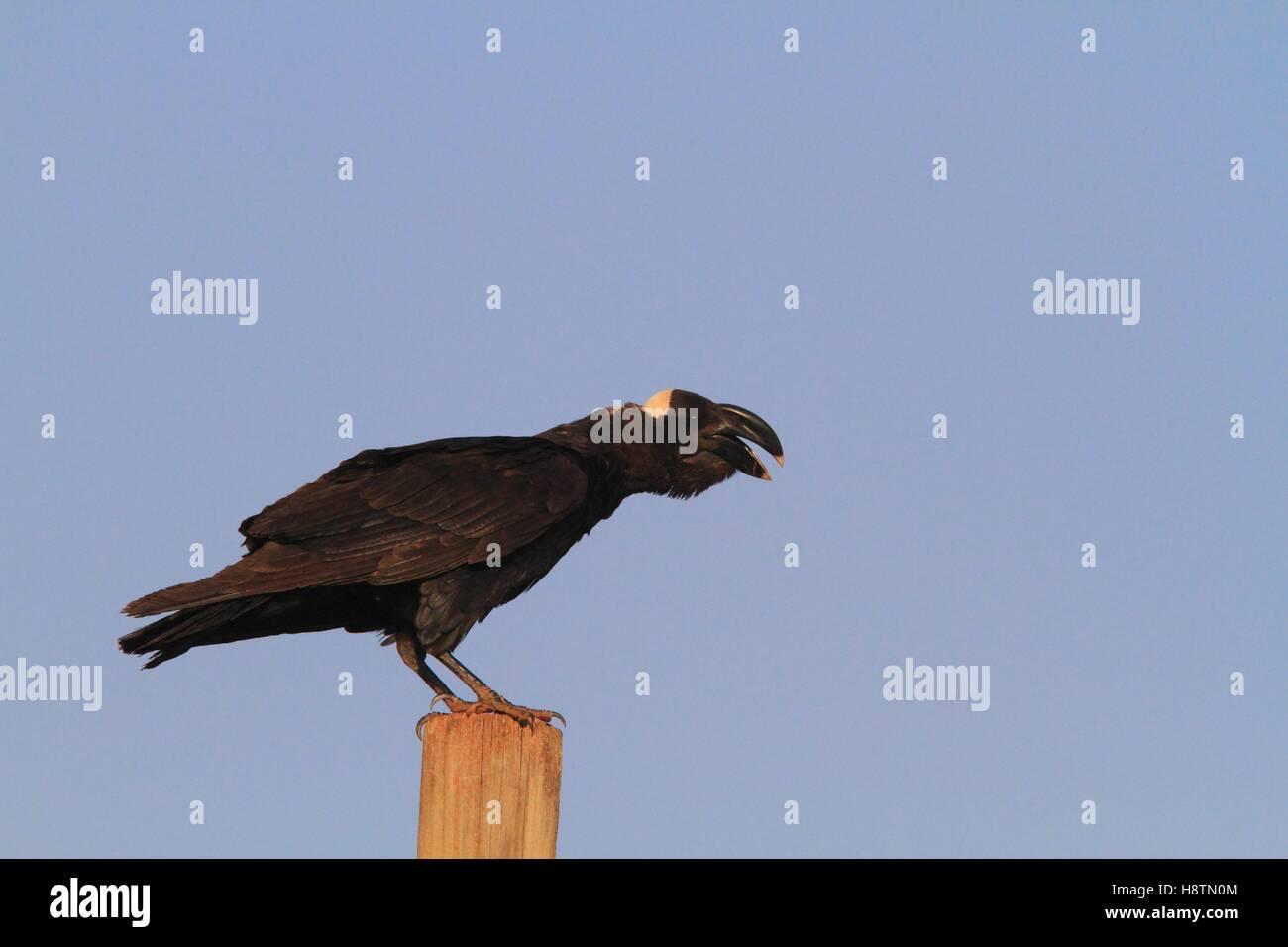 Thick-billed Raven (Corvus crassirostris). Ethiopia - Stock Image