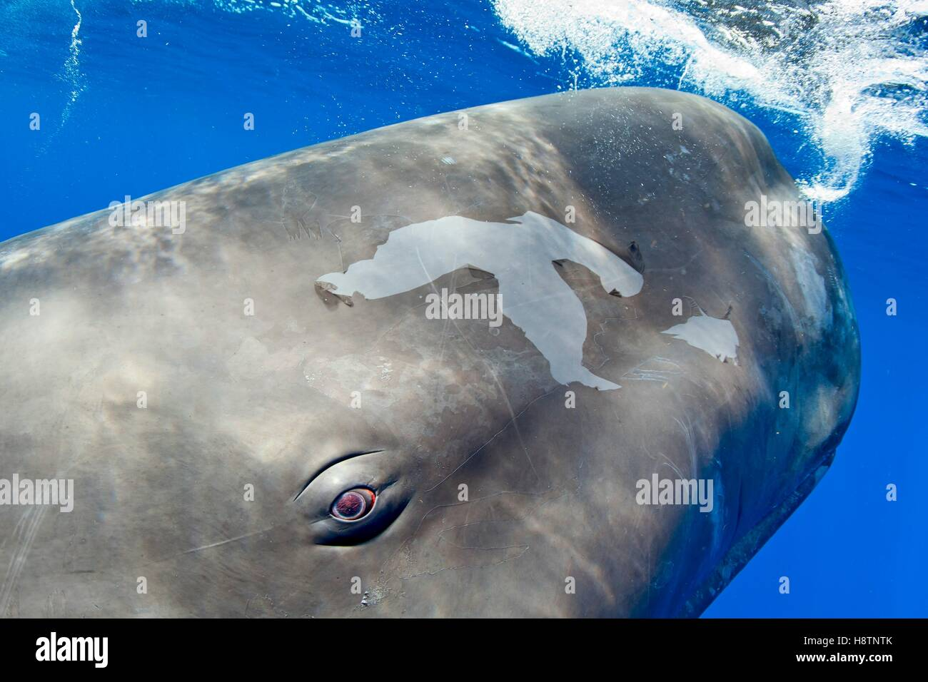 Sperm Whale Anatomy Stock Photos & Sperm Whale Anatomy Stock Images ...