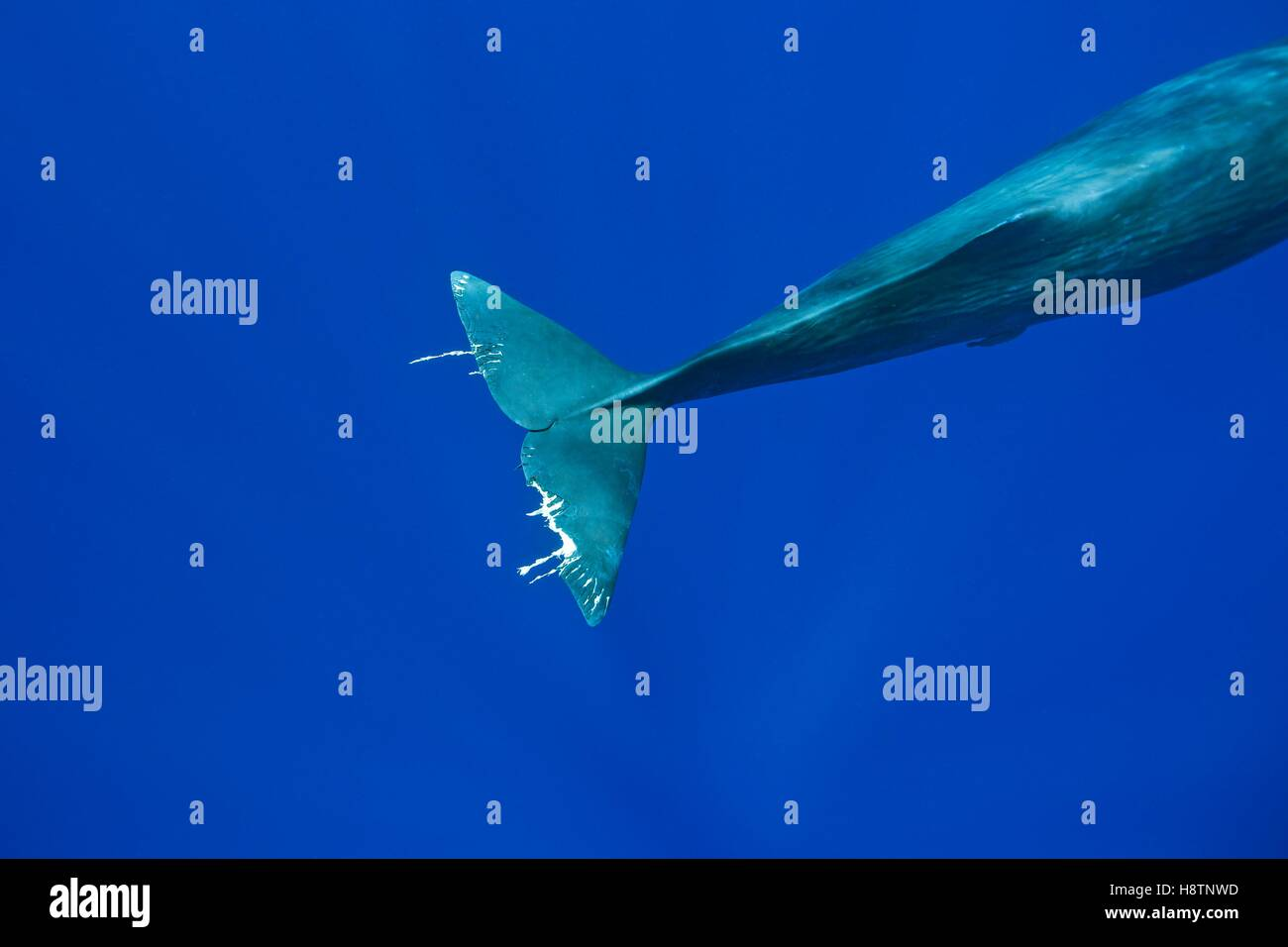 Tail of a sperm whale probably injured by pilot whales or other whales, Physeter macrocephalus, Vulnerable (IUCN), - Stock Image