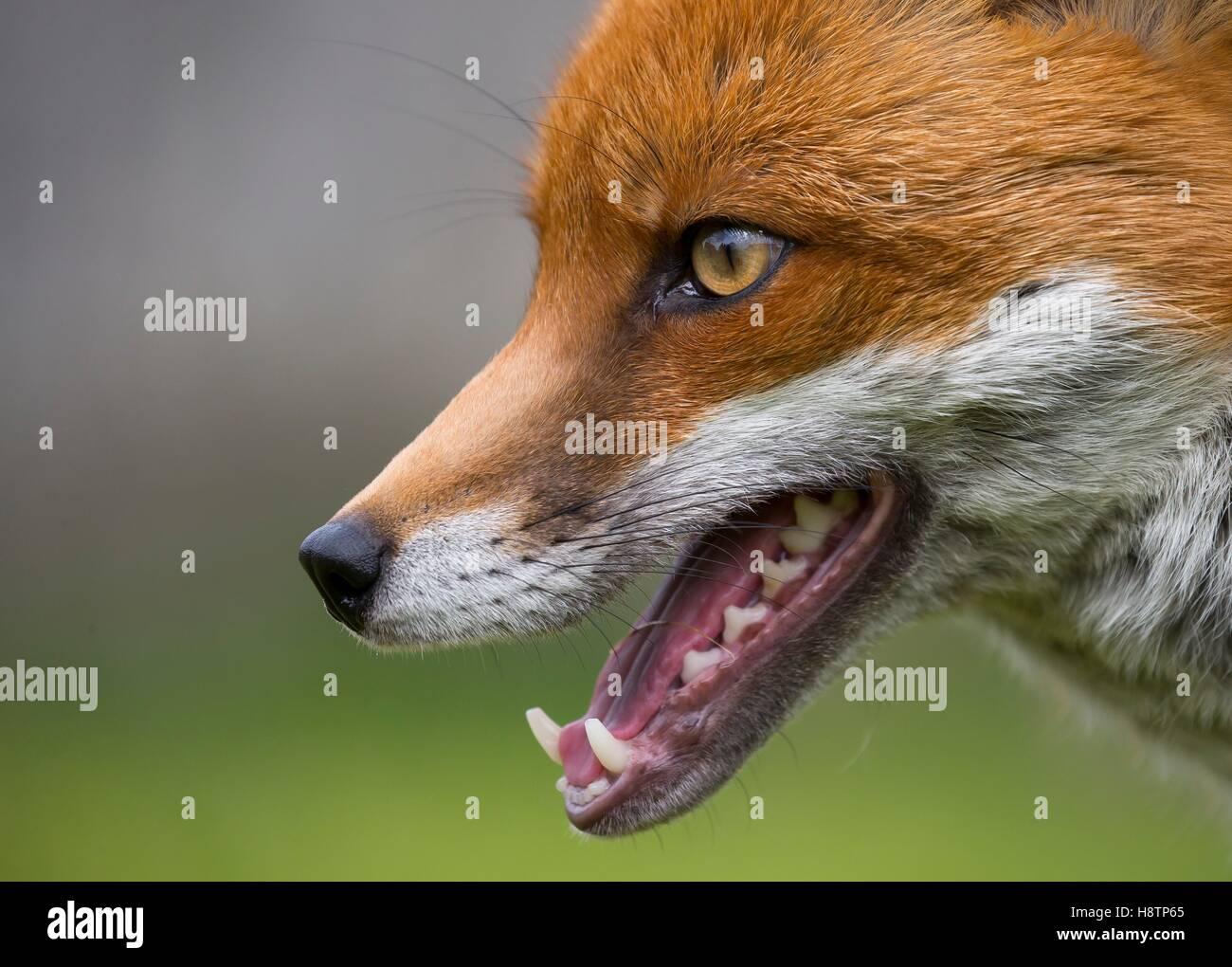 Red Fox Vulpes Vulpes Fox Head Details England Spring Stock Photo Alamy