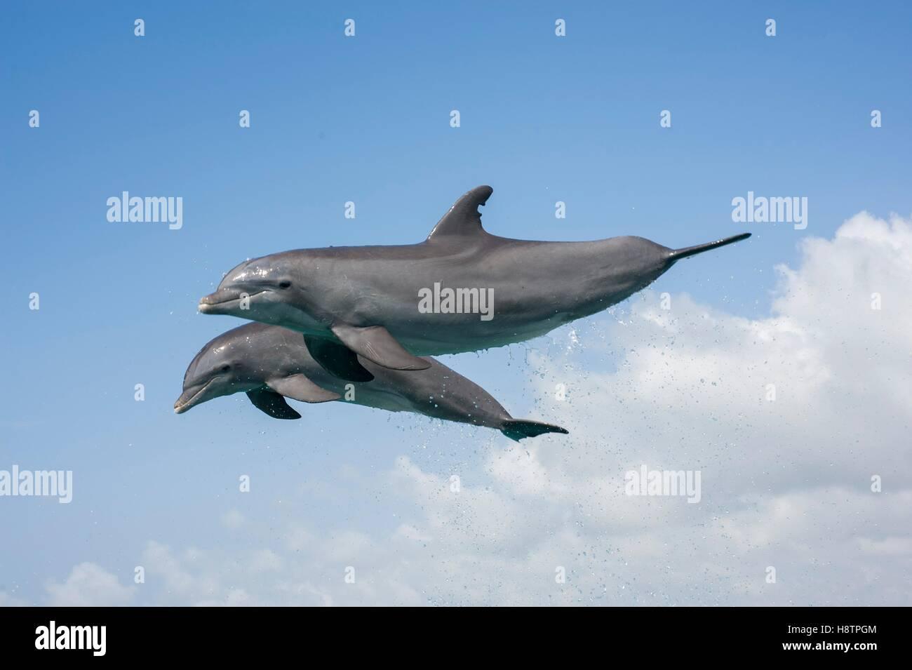 Bottlenose dolphins ( Tursiops truncates) jump, Bahamas - Stock Image