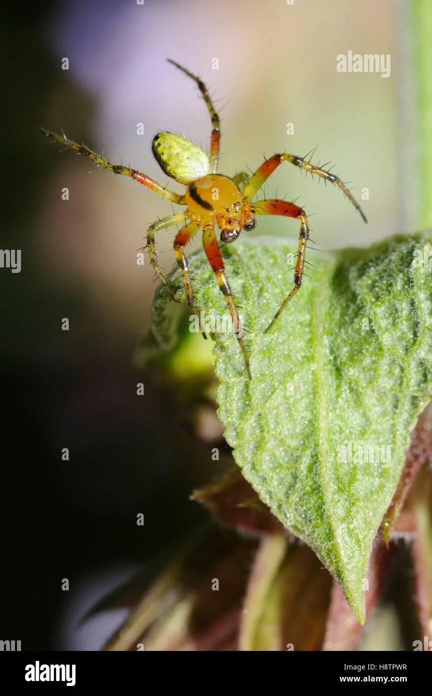 Cucumber green Spider (Araniella cucurbitina) male on a leaf, Northern Vosges Regional Nature Park, France - Stock Image