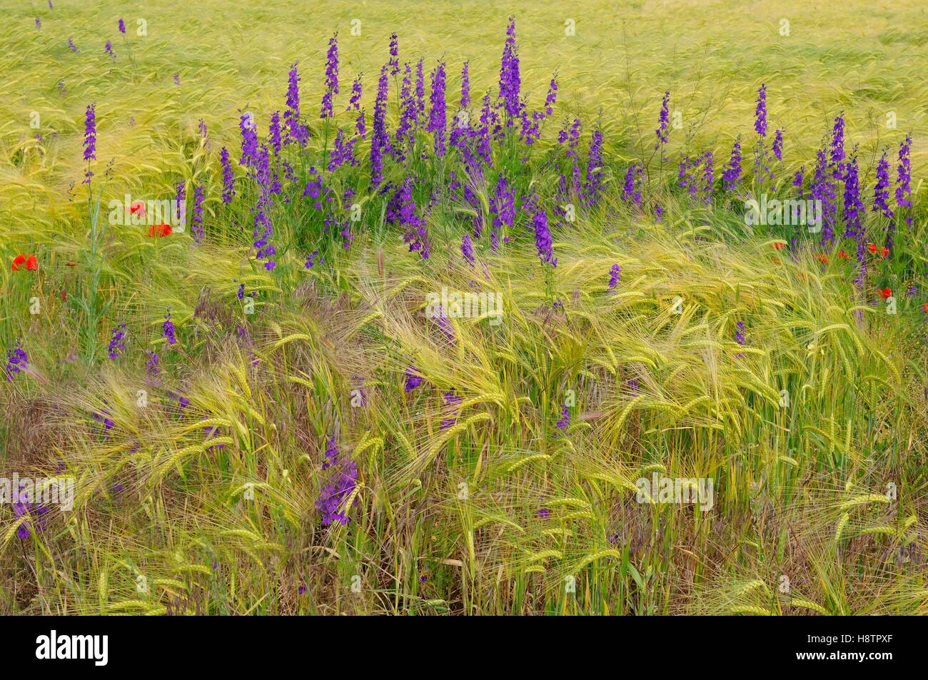 Oriental Knight's Spurs (Consolida orientalis) in flower in a field of barley, Danube Delta, Romania - Stock Image