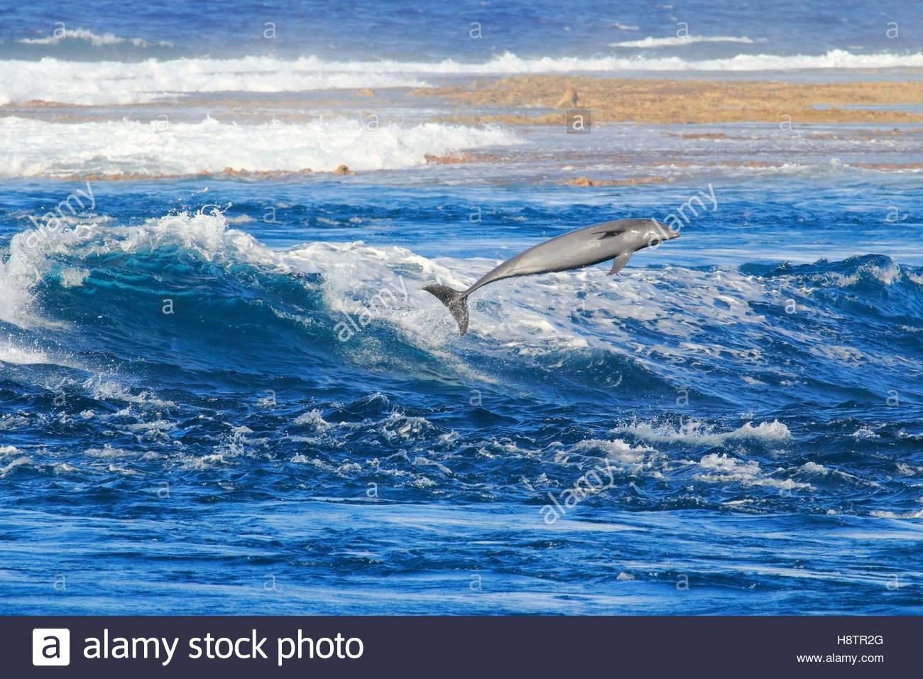 Bottlenose Dolphin (Tursiops truncates) jumping in Tiputa pass, Rangiroa Atoll, French Polynesia. Stock Photo