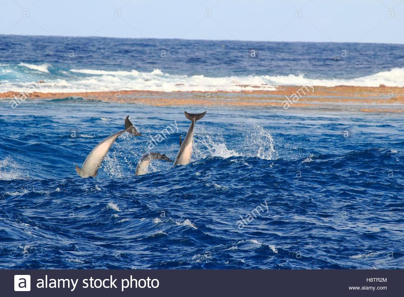 Bottlenose Dolphins (Tursiops truncates) in Tiputa pass, Rangiroa Atoll, French Polynesia. - Stock Image