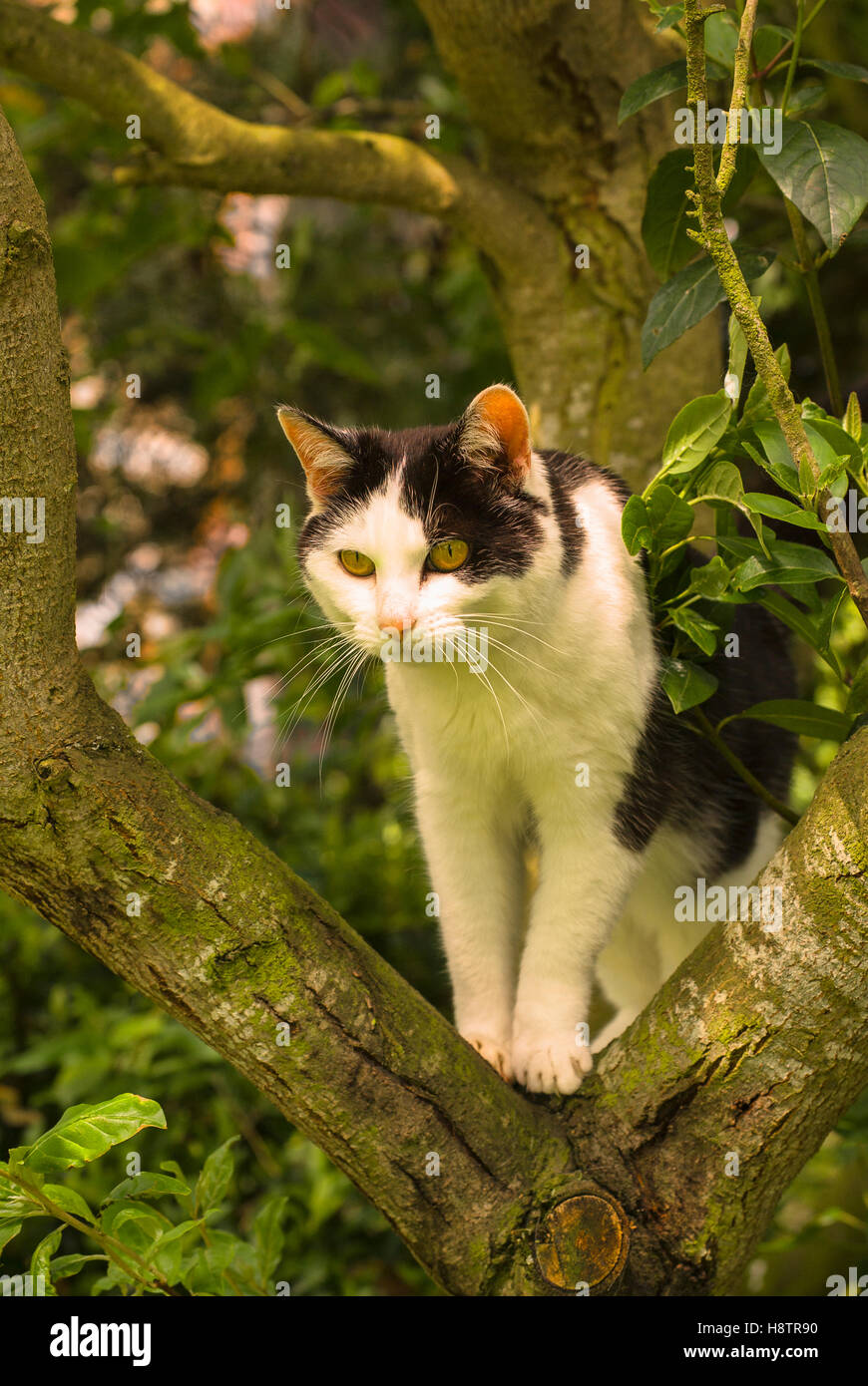 Black and white cat outdoors stalking prey from the fork of a tree - Stock Image