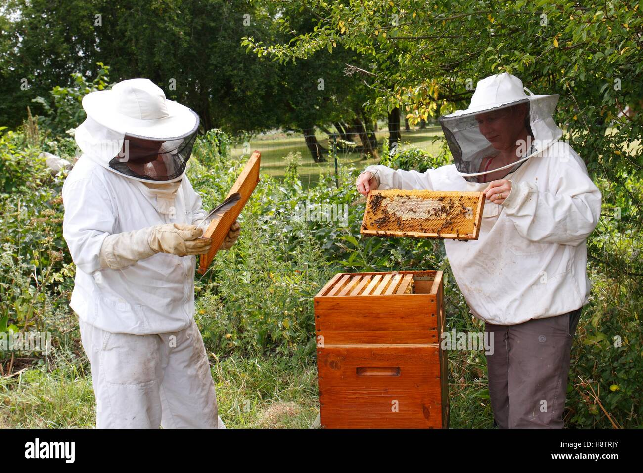 Manipulation and observation of a bee brood frame by beekeepers Heurteauville, Normandy, France - Stock Image