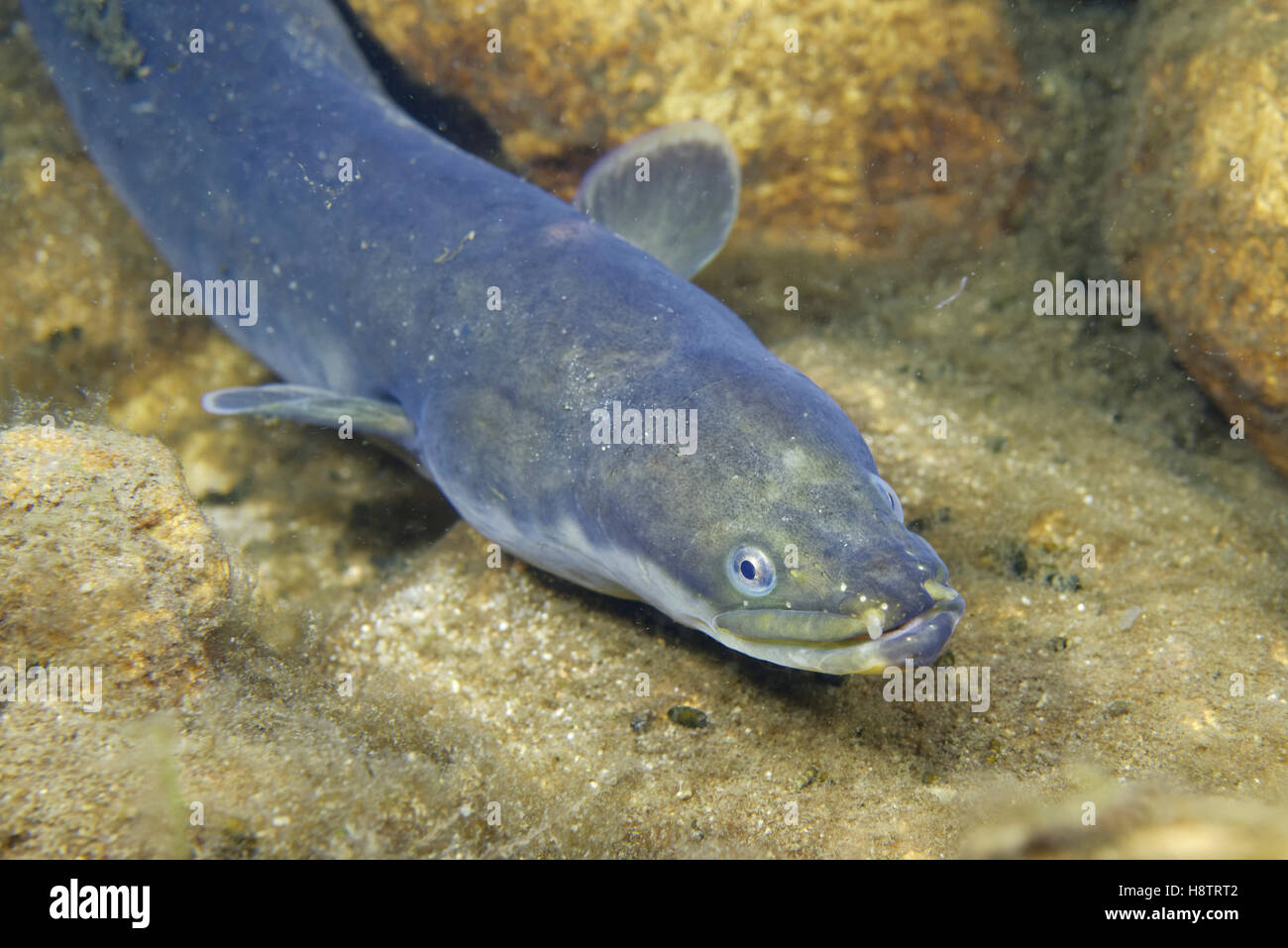 European eel (Anguilla anguilla) at night in winter in the Cher River, Prairie Fouzon Natura 2000 Zone, Centre Val Stock Photo