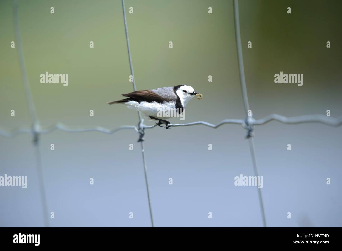 White-fronted chat (Epthianura albifrons) male bringing larvae to is brood , Tasmania, Australia - Stock Image