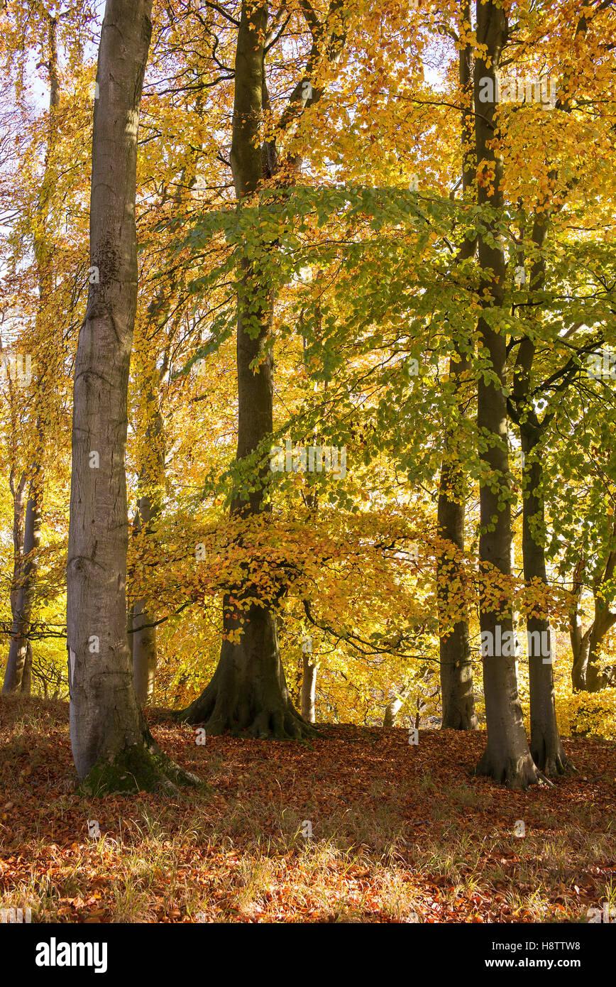 Fagus sylvatica – glorious autumn colour of European Beech trees in a deciduous woodland in autumn. November. Hampshire, - Stock Image