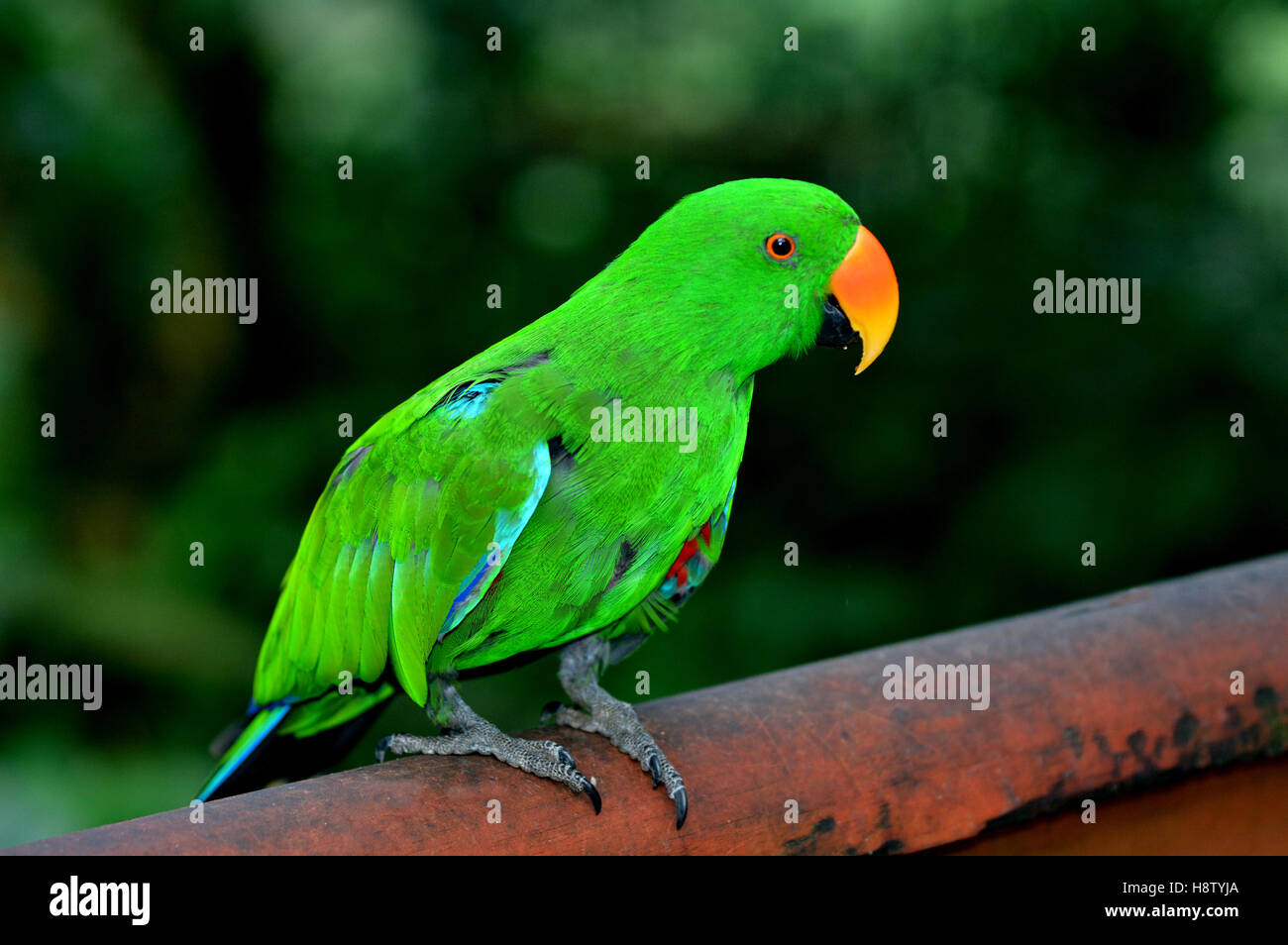 Eclectus parrot Male (green) (Eclectus roratus) is a parrot native to the Solomon Islands, Sumba, New Guinea and Stock Photo