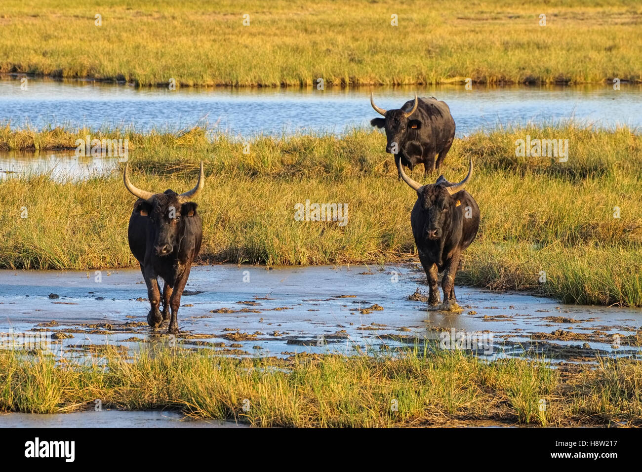 schwarze Camargue-Stiere - black Camarguais bulls in swamp, southern France - Stock Image