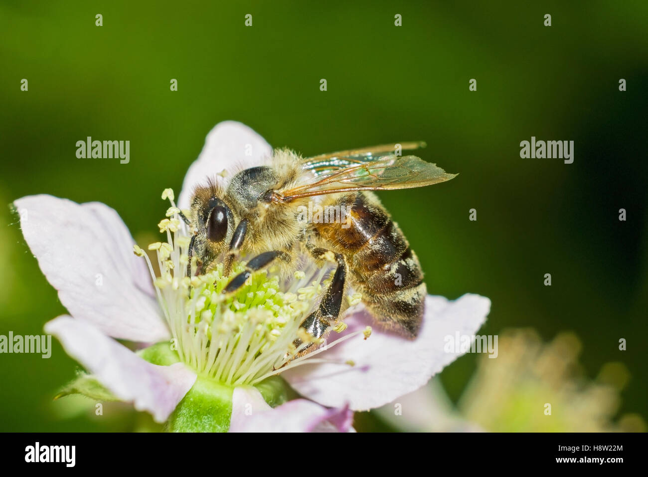 Honey bee on blackberry flower - Stock Image